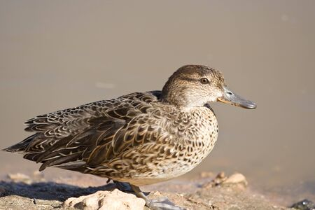 palmiped: The duck sitting near the lake Stock Photo