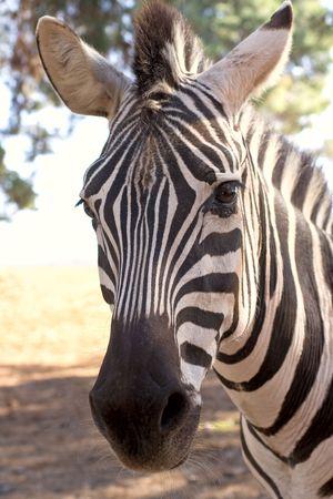 Face of zebra in Safari photo