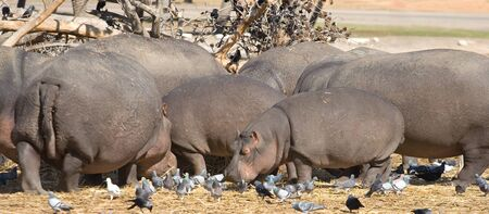 Family of hippopotamus standing together Stock Photo - 4352934
