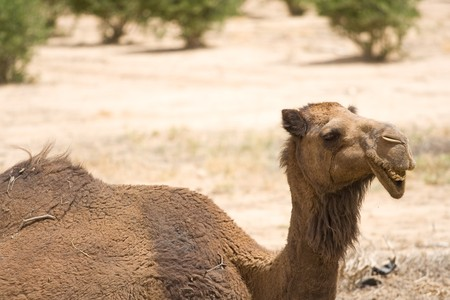 sitting area: Young camel in the desert