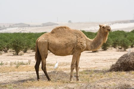 Young camel in the desert photo