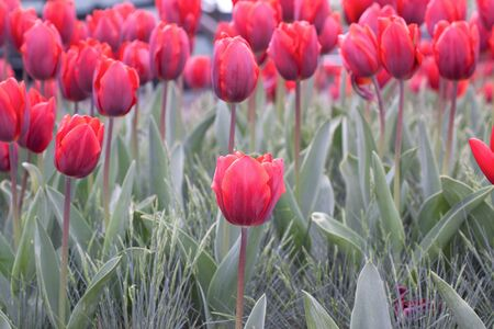 Bright spring tulip over a grass photo