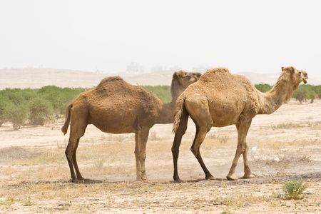 Young camel in the desert Stock Photo - 4982865