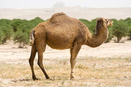 Pareja de camellos en el desierto