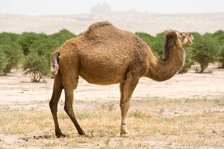 Young camel in the desert