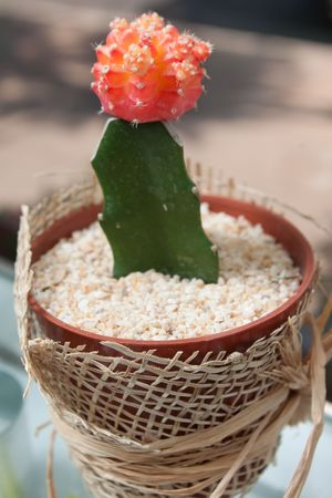 spliced: Blossoming cactus in yours pot Stock Photo