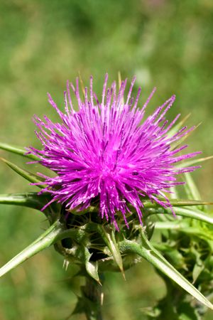 Blossoming thistle with pink flowers photo