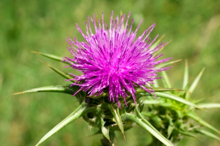 thorns  sharp: Blossoming thistle with pink flowers