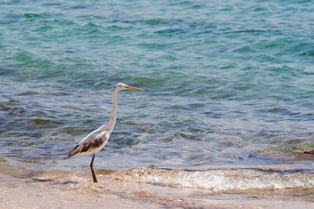 Egret on a Red Sea photo