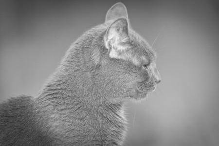 Portrait of  my lovely gray cat photo