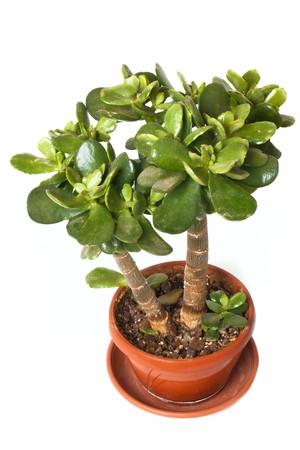 crassula: Crassula (money tree) isolated on white background Stock Photo