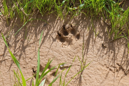 Animal steps on a sand in grass photo