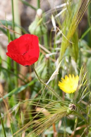 anemone flower: Fiore di anemone rosso su sfondo di erba