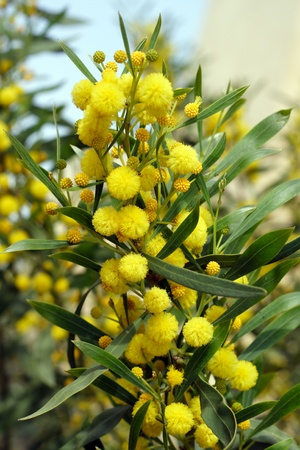 Blossoming mimosa with yellow flowers photo