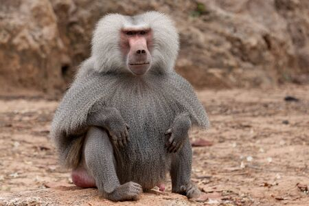 Male baboon sitting on the ground