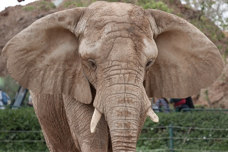 Portrait of the elephant with large protruding ears