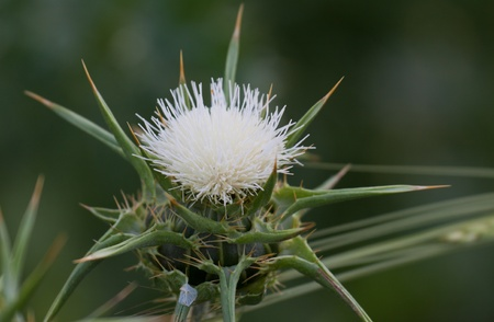 Blossoming white thistle with pink flowers photo