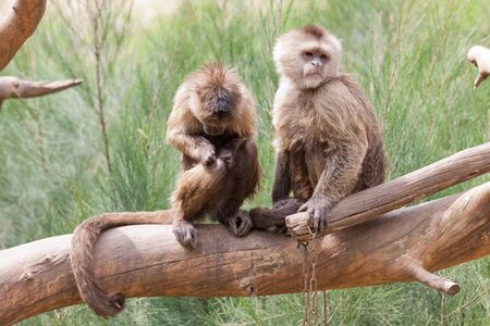 arboreal: Two monkeys with long tail standing on a tree