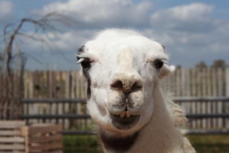 Portrait of the white lama photo