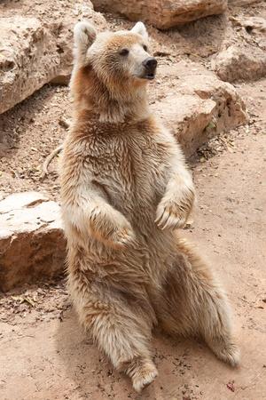 Syryjski: Syryjski niedźwiedź siedzieć w zoo