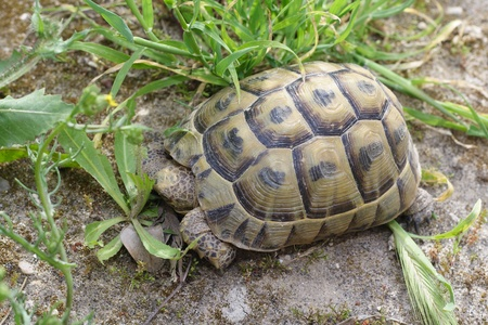 dispassionate: Forests turtle walking on a grass