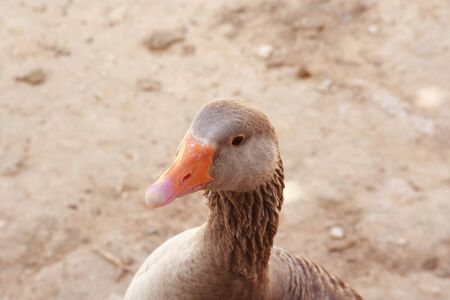 palmiped: The goose standing by zoo Stock Photo