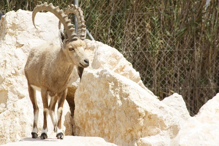 billy: Billy goat with big horn Stock Photo