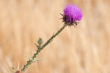 thorn bush: Blossoming thistle with pink flowers