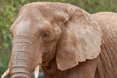 Portrait of the elephant with large protruding ears photo