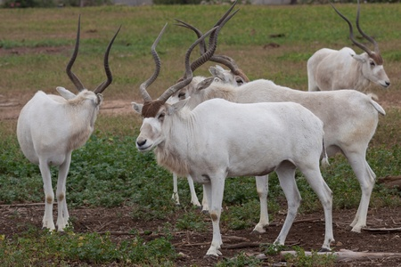 Addax nasomaculatus standing on the ground Stock Photo - 10393909