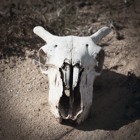 Goats skull in the desert Stock Photo - 12766997