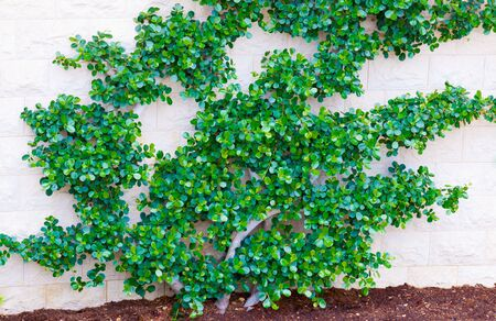 Green bush isolated on the white wall photo