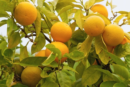 Ripe oranges hanging on a tree photo
