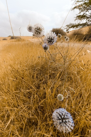 Blossoming white thistle with blue flowers photo
