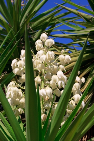 Blossoming yucca under the sky background Stock Photo