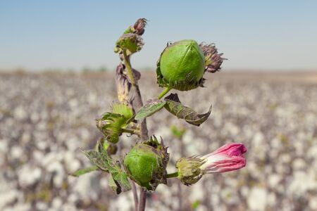 Bud of cotton with pink flower on a field photo