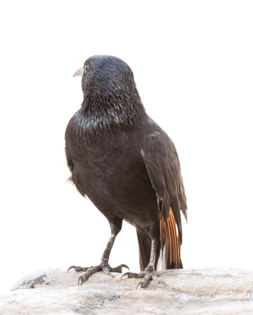 Tristram's Starling or Tristram's Grackle (Onychognathus tristramii) on white background photo