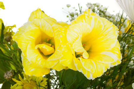 Two yellow flowers in bouquet isolated on white background Stock Photo - 16674736