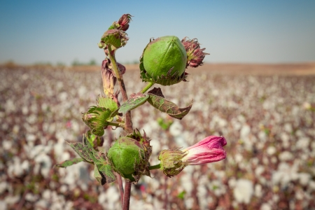 Green bud of cotton with pink flower on a field photo