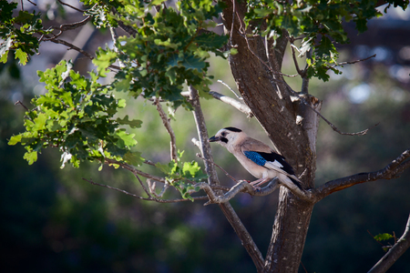 Eurasian jay who are sitting in a tree photo