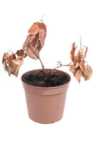 dode bladeren: Dode installatie in pot op wit wordt geïsoleerd Stockfoto