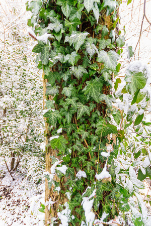 Ivy bush with green leaves in white snow photo