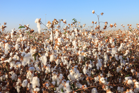 cotton ball: Ripe cotton on field with ripe cottons bush under blue sky