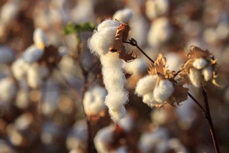 Some cotton buds bloom on a blurred background