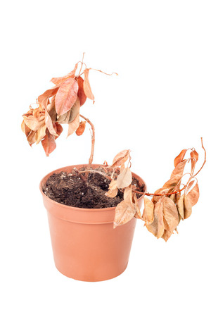 Simple dead plant in pot isolated on white background Imagens