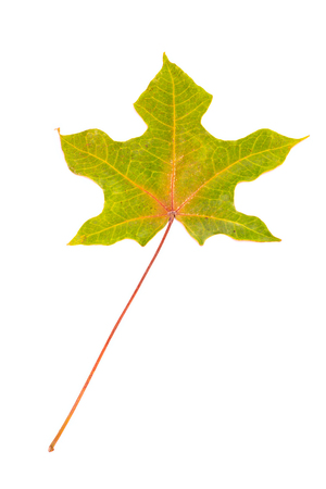 sycamore leaf: Sycamore leaf isolated on white background