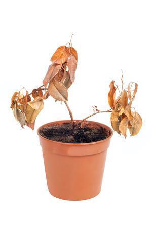 dode bladeren: Een dode plant in pot geïsoleerd op witte achtergrond