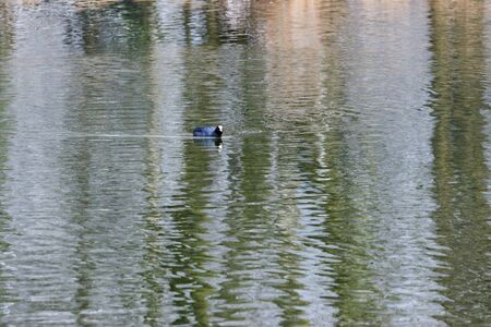 Single blue duck floating on the clear lake photo