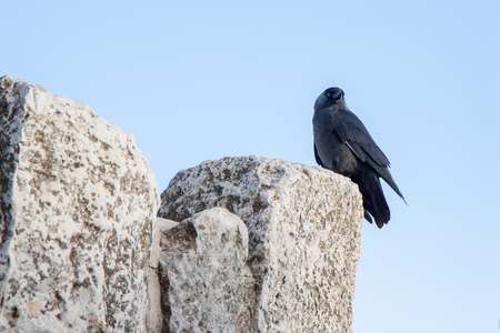 Black jackdaw sitting on a rock photo