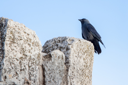 Young black jackdaw sitting on a rock photo